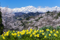 長野県 二反田の桜