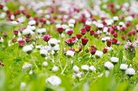 紅白のヒナギク群れ咲く