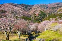 岐阜県 霞間ヶ渓の桜