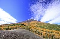 静岡県 カラマツ黄葉の富士山と青空