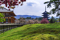 奈良県 興福寺 ヤエザクラ