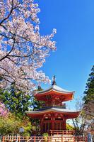 京都府 京都市 正法寺 遍照塔 桜