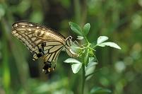カラタチに産卵するナミアゲハ