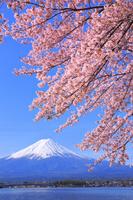 山梨県 河口湖畔の桜と富士山