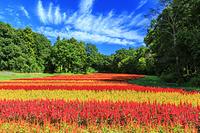 埼玉県 国営武蔵丘陵森林公園のケイトウ花畑