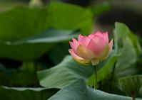 緑葉と一輪の咲き始めた蓮の花