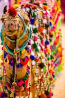 インド ラクダ