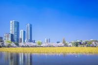東京都 上野公園のサクラ