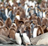 ジェンツーペンギンとキングペンギンの群れ