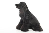 イングリッシュコッカースパニエル 座っている犬