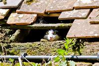 屋根の隙間から顔を出す猫