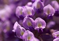 クローズアップした紫色の藤の花