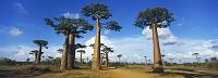 マダガスカル アフリカ バオバブの木