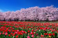 埼玉県 春の深谷グリーンパークに咲くチューリップと桜
