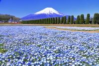 山梨県 ネモフィラと富士山