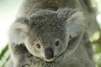 親の背中に乗る赤ちゃんコアラ