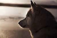 夕暮れの犬