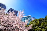 東京都 桜咲く春の浜離宮恩賜庭園