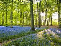 イギリス イングリッシュ・ブルーベルの花畑
