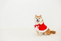 クリスマスの衣装をした豆柴