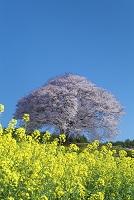 佐賀県 馬場の山桜とナノハナ