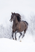 馬  アラビアンホース