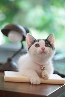 猫(雑種)