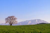 岩手県 雫石町 小岩井農場の一本桜