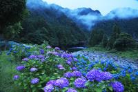 岐阜県 板取川とアジサイの朝