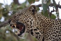 ケニア サンブル国立保護区 ヒョウのあくび
