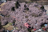 長野県 コヒガン桜満開の高速城址公園