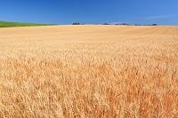 北海道 富良野 大麦畑