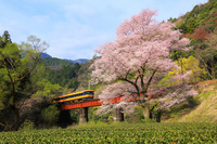 静岡県 春の大井川鉄道と桜