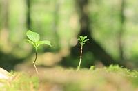 長野県 蓼科高原 倒木から芽吹く若木