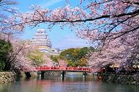 兵庫県 姫路市 桜と姫路城