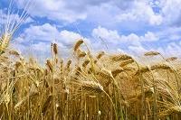 ドイツ 大麦畑