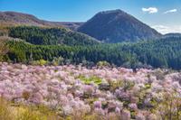福島県 桜峠のオオヤマザクラ