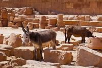ヨルダン ペトラ遺跡 ロバ
