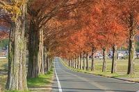 滋賀県 メタセコイヤ並木