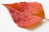 愛知県 ナンキンハゼの葉と水滴