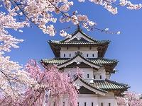 青森県 弘前公園 サクラと天守閣(工事のため移設中・16年4月)