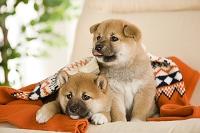 セーターに包まる子犬