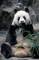 中国 成都市 草を食むジャイアントパンダ