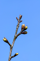 梅 冬芽から芽吹き