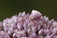 擬態する動物 シロアズチグモ