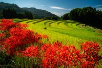 佐賀県 秋の棚田と彼岸花