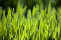 朝露と若草
