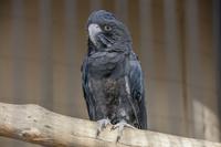 キャンベルタウン野鳥の森 アカオクロオウム