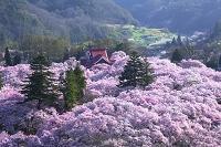 長野県 高遠城址公園の桜