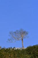北海道 アンバランな枝ぶりの木と残雪(星野リゾートトマム)